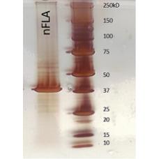 Purified Flagellin from Bacillus subtilis (NB-FLA-1)